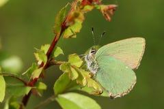一美丽的绿色翅上有细纹的蝶蝴蝶Callophrys rubi在叶子栖息 免版税库存照片