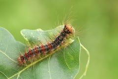 一美好的罕见的舞毒蛾毛虫Lymantria dispar哺养在一片橡树叶子在森林地 免版税库存照片
