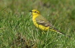 一群惊人的公黄色令科之鸟, Motacilla flava,坐在草 免版税库存照片