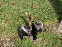一群晒黑的美洲蛇鸟的后侧方 库存照片