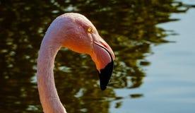 一群桃红色火鸟在水池 免版税库存图片
