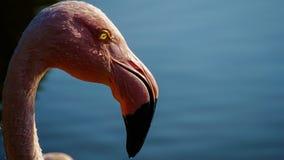 一群桃红色火鸟在水池 库存照片