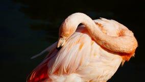 一群桃红色火鸟在水池 免版税图库摄影