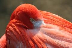 一群桃红色火鸟清洗羽毛 库存照片