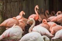 一群火鸟的画象在动物园的 免版税库存照片