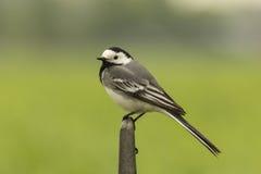 一群白色令科之鸟的特写镜头 库存图片
