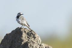 一群白色令科之鸟的特写镜头 库存照片