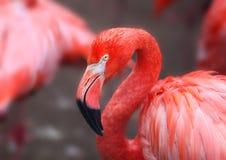 一群红色火鸟的一张美丽的画象的浩特 图库摄影