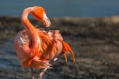 一群红色火鸟的特写镜头有模糊的背景 免版税库存图片