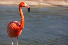一群红色火鸟的特写镜头有模糊的背景 库存图片