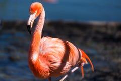 一群红色火鸟的特写镜头有模糊的背景 免版税图库摄影