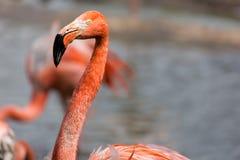一群红色火鸟的特写镜头有模糊的背景 免版税库存照片