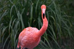 一群红色火鸟的细节 免版税库存照片