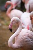 一群美丽的桃红色火鸟的画象 图库摄影