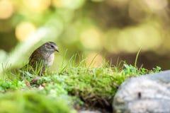 一群美丽的篱雀之类的鸟 免版税库存图片