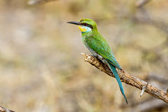 一群被栖息的燕尾状食蜂鸟 库存照片