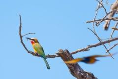 一群逗人喜爱的五颜六色的食蜂鸟的特写镜头在金合欢树枝栖息 远距照相视图,明白蓝天 马蓬古布韦国家公园, Sou 图库摄影