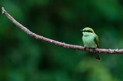 一群逗人喜爱的绿色食蜂鸟 库存照片
