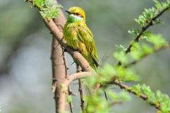 一群绿色食蜂鸟的画象 库存照片