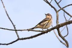 一群黄色rumped鸣鸟在新英格兰 免版税库存图片