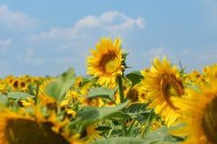 一耸立在另一个高向日葵上的-向日葵或者向日葵油拉特 向日葵有天空背景 免版税库存照片