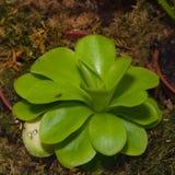 一肉食植物捕虫堇或Pinguicula的叶子在温室特写镜头,选择聚焦,浅DOF 库存图片