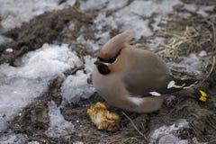 一肥胖太平鸟Bombycilla garrulus的膳食 免版税库存图片