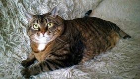 一肥胖懒惰猫说谎 免版税库存照片