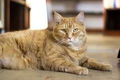 一肥胖橙色虎斑猫放松 免版税库存图片