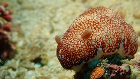 一肥胖Goniobranchus sp5 nudibranch在菲律宾的Anilao 库存图片