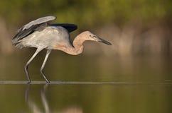 一舒展它的翼的带红色白鹭白鹭属rufescens在池塘在堡垒迈耶斯海滩 库存照片