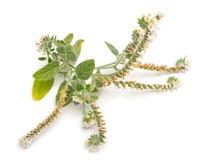 一般叫作向日葵的Heliotropium r 免版税图库摄影