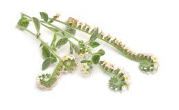 一般叫作向日葵的Heliotropium r 库存照片