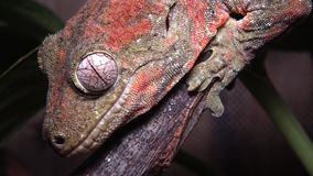 一般叫作生苔新的古苏格兰壁虎的Mniarogekko chahoua,短装管嘴的新的古苏格兰壁虎,巴韦` s巨人壁虎 股票视频