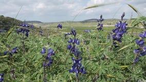 一般叫作羽扇豆或羽扇豆的羽扇豆属 蓝色羽扇豆的领域在以色列 股票视频