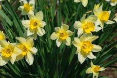 一般叫作野生黄水仙或被借的百合水仙pseudonarcissus的小组 免版税库存照片