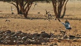 一苍白歌颂苍鹰Melierax canorus寻找在大草原的,安博塞利国家公园,肯尼亚 免版税库存照片