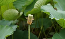 一莲花seedpod和叶子在河在夏天 图库摄影