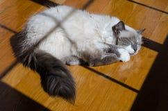一蓝蚝ragdoll成人猫睡觉 免版税图库摄影