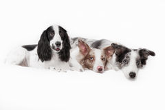 一起三条狗 两个狗品种博德牧羊犬 免版税库存照片