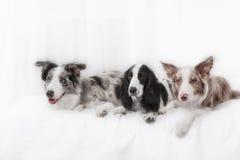 一起三条狗 两个狗品种博德牧羊犬 库存图片