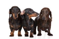 一起三条达克斯猎犬狗在白色 免版税图库摄影