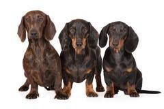 一起三条达克斯猎犬狗在白色 库存图片