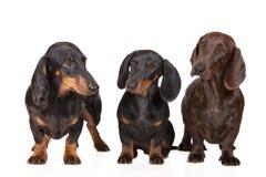一起三条达克斯猎犬狗在白色 库存照片