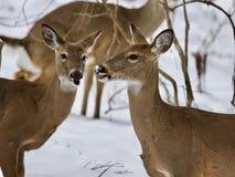 一起三头野生鹿美丽的照片在多雪的森林里 免版税库存照片