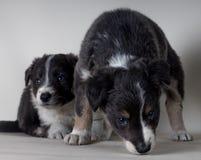 一起两三两只幼小博德牧羊犬护羊狗 库存照片