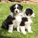 一起两只澳大利亚牧羊人小狗 免版税库存照片