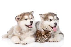 一起两只阿拉斯加的爱斯基摩狗狗和缅因树狸猫 查出 免版税库存图片