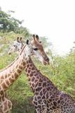 一起两头长颈鹿在塞内加尔 免版税库存图片