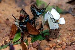 一起会集在盐附近的蝴蝶 免版税图库摄影